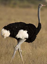 Somali ostrich, possibly dangerous, probably not a terrorist